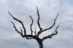 Horror tree without leaves on cloudy sky background. Horror tree without leaves and small branches on cloudy winter sky background Royalty Free Stock Images