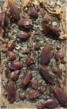 Horror y repugnancia del infierno de la trampa de la cucaracha Imagen de archivo libre de regalías