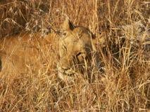 Hors du lion de foyer images libres de droits