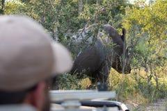 Hors focale dans le premier plan, traqueur conduisant le véhicule de safari À l'arrière-plan au foyer, rhinocéros blanc chez Sabi image stock