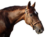 Horse-01. Head and neck of a horse which have harnessed in a bridle royalty free stock images