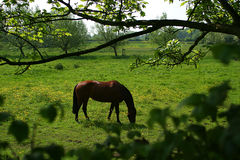Horse. A grazing horse in a field full of Buttercups royalty free stock photos