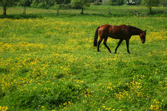 Horse. A lone horse in a field full of Buttercups royalty free stock images