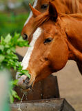 Horse. S of  English breed drinking water in solar, hot, summer day Royalty Free Stock Photography