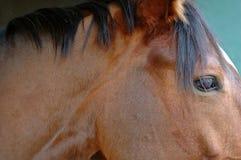 Horse. Close up Stock Photo