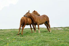 Horse. Two brown horses caress each other Royalty Free Stock Photography