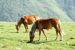 Horse. Two horses are grazing on the hillside Stock Image