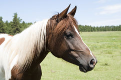 Horse. Portrait of a horse in a farm field Stock Images