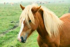 Horse. Head close-up of a brown horse Stock Photos