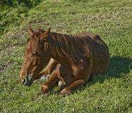 Horse. Lying on the grass stock image