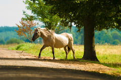 Horse. White horse eating grass in a meadow, its head down stock image