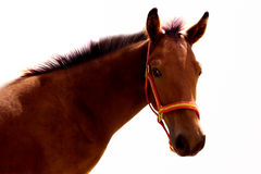Horse. Portrait of a brown horse isolated on a white background Stock Photos