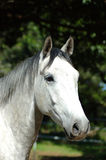 Horse. Beautiful white horse head portrait with alert expression in the pretty face watching other horses on a paddock of a farm Royalty Free Stock Photo