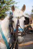 Horse. Cart harness on domestic horse Stock Photo