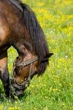 Horse. (Equus caballus) in the meadow Stock Image