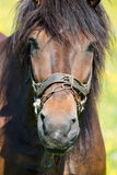 Horse. (Equus caballus) in the meadow Royalty Free Stock Images