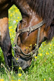 Horse. (Equus caballus) in the meadow Royalty Free Stock Photos