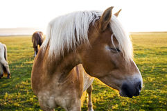 Horse. Close-up of horse face Royalty Free Stock Photography