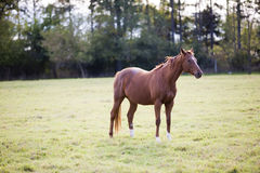 Horse. Beautiful horse in the field Stock Photography