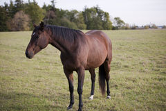 Horse. Noble Horse standing in the field Stock Images