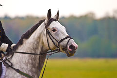 Horse. Brown horse ride in sunny day afternoon royalty free stock image