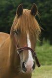 Horse. A shot of a horse looking at camera Stock Image
