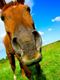 Horse. Close up, in an open field Royalty Free Stock Photo