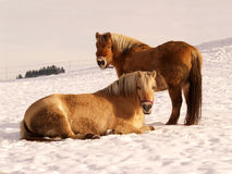 Horse 12. Horses in winter season, outdoor Royalty Free Stock Photo