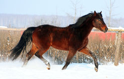 Horse. Running  on the white snow,  is moving at a trot, gelding free, thoroughbred Royalty Free Stock Image