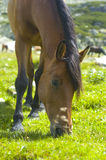 Horse. A horse  grazing in a green field Stock Image