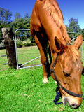 Horse. Brown stallion. High Resolution photo. Ideal for your editorial or advertising Royalty Free Stock Photo