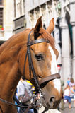 Horse. Head of brown horse in city during celebration Stock Image