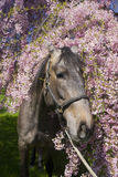 Horse. With pink blossom tree Royalty Free Stock Photos