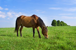 Horse Royalty Free Stock Photos