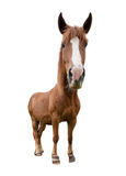 Horse. Funny horse shot with wide angle lens isolated on white Stock Photography