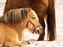Horse 15. Horses in winter season, outdoor Royalty Free Stock Images