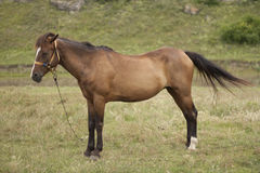 Free Horse Royalty Free Stock Photography - 15051347
