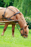 The Horse. Brown horse with a cart on the meadow Royalty Free Stock Photo