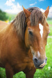 Horse. Brown horse at green field Royalty Free Stock Images
