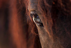 Horse. A detailed and beautiful closeup of a horse eye - focus on pupil