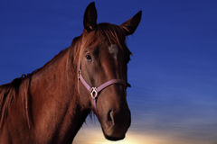 Horse. Profile of Domestic Horse with Sunset Background Royalty Free Stock Photos