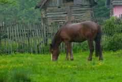 Horse. A horse grazing in a green field Royalty Free Stock Image