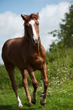 Horse. Running at the green meadow Stock Images