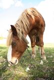 Horse. The horse eating a grass Royalty Free Stock Photos