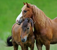 Horse. Two horse on a pasture Royalty Free Stock Photo