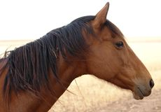 Horse. Brown horse looking into the distance Royalty Free Stock Photos