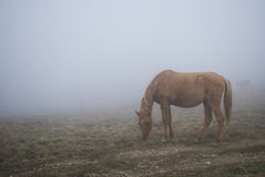 Horse. Young mare is grazed in a fog on a glade Royalty Free Stock Photo
