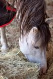 Horse. A pure breed racehorse eating Royalty Free Stock Images