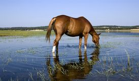 Horse. Serene view of an horse drinking water from a lagoon royalty free stock image