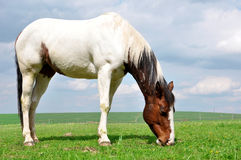 Horse. In the spring meadow Royalty Free Stock Photography